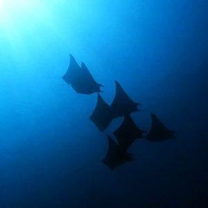 马尔代夫潜水Mobula Ray